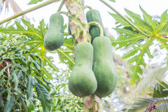 Ripe and raw papaya on the tree. Stock Photography