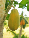 Ripe and raw papaya on the tree. Stock Images