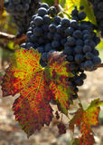 Ripe and ready for harvest. Sunlit autumn colored wine leaf from the south of France Royalty Free Stock Photo