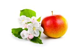 Ripe red apple and apple-tree blossoms Royalty Free Stock Photo