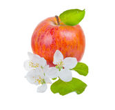 Ripe red apple and apple-tree flowers Stock Photo