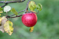 Ripe red apple on branch. Of tree with green background Stock Photos