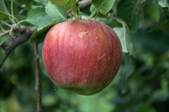 Ripe red apple. On a branch Stock Photo