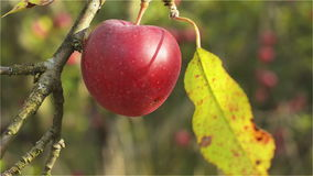 Ripe Red apple on the branch in the afternoon sun. Ripe apple in organic production on a branch in the noon hours illuminated by sunlight. Close up stock video