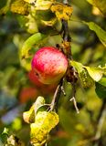 Ripe red apple on branch royalty free stock images
