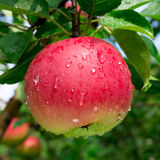 Ripe red apple on the branch Stock Images