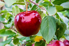 Ripe red apple on a branch. Ripe red apple on a branch surrounded by green leaves Royalty Free Stock Photo