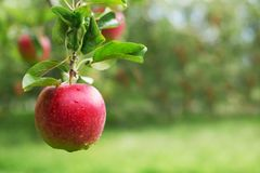 Ripe red apple close-up with orchard in the background. Royalty Free Stock Images