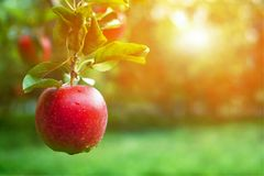 Ripe red apple close-up with sun rays in the background. Stock Photos