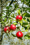 Ripe red apple fruit hang tree branch Healthy food. Ripe red fruit hangs on apple tree branch. Healthy natural food Stock Photography