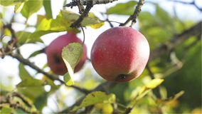 Ripe Red apple of organic production in which landed Hornet and begins to bite. Low angle, Close Up stock footage