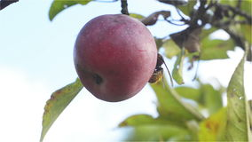 Ripe Red apple of organic production in which landed Hornet and begins to bite. Low angle, Close Up stock video