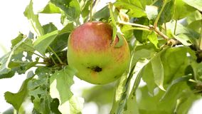 Ripe, red apple. On a tree stock video