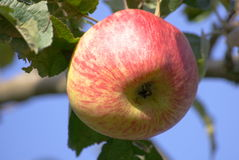 Ripe red apple on tree Stock Images