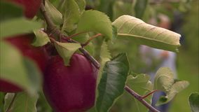 Ripe red apple on a tree branch. A slow pan to right shot of a ripe red apple on a tree to a blurred people talking in the background stock video footage