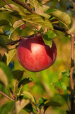 Ripe red apple on the trree Stock Photo