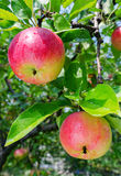 Ripe red apples Royalty Free Stock Photography