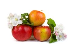 Ripe red apples and apple-tree blossoms Royalty Free Stock Photos