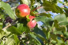 Apples. royalty free stock images