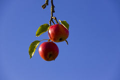 Ripe red apples and blue sky. Low angle view of two riped red apples hanging from branch with blue sky background Royalty Free Stock Images