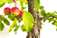Ripe red apples at a bonsai apple tree Royalty Free Stock Photos