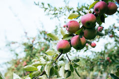 Ripe red apples on branch Stock Photos
