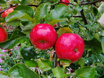 Ripe red apples on a branch apple tree, amid lush green foliage. Stock Photography
