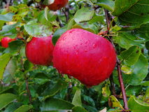 Ripe red apples on a branch apple tree, amid lush green foliage. Stock Photos