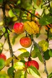 Ripe red apples on branch Royalty Free Stock Image