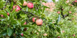 Ripe red apples on the branches stock photos