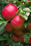 Ripe red apples close up Royalty Free Stock Photos