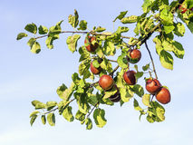 Ripe and red apples Royalty Free Stock Photos