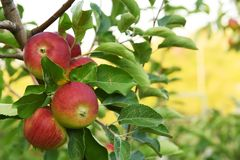 Ripe red apples in the garden. stock photo
