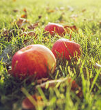 Ripe red apples in green grass Stock Image