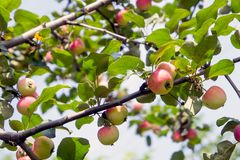 Apple tree with apples 6. Ripe red apples hang from apple tree branches. Summer, sunny day Royalty Free Stock Images