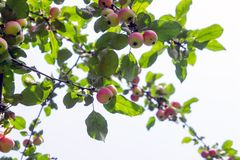 Apple tree with apples 3. Ripe red apples hang from apple tree branches. Summer, sunny day Royalty Free Stock Photo