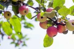 Apple tree with apples 2. Ripe red apples hang from apple tree branches. Summer, sunny day Stock Photography
