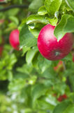 Ripe red apples in tree Stock Images