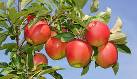 Ripe red apples on tree Stock Photo