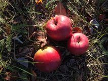 Ripe red apples lie on the grass under the tree stock image
