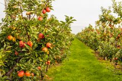 Ripe red apples ready to be picked in a modern Dutch apple orch. Fruit trees with harvest ripe red apples in a modern Dutch apple orchard with espaliers at the royalty free stock images