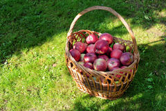 Ripe red apples in the sun light Royalty Free Stock Photo