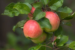Ripe red apples on a tree. Branch Stock Image