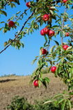 Ripe red apples on tree. With blue sky and countryside background stock photo