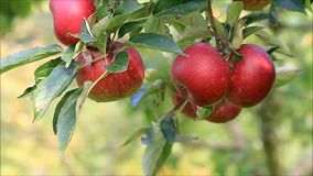 Ripe red apples on tree stock video footage