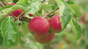Ripe red apples on a tree. Ripe red apples on apple tree branch close-up stock footage
