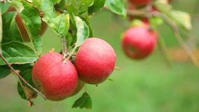 Ripe red apples on a tree. Ripe red apples on apple tree branch close-up stock video footage