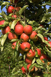 Ripe red apples on a tree branch, Netherlands Royalty Free Stock Image