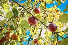 Ripe red apples on the tree. Ripe red apples on a tree in a Sunny garden royalty free stock photo