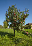 Ripe red apples in a tree Royalty Free Stock Photography